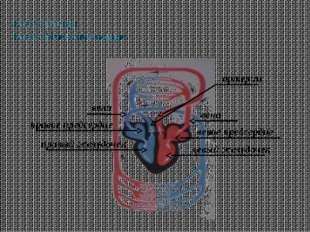 Класс Птицы Класс Млекопитающие правый желудочек вена левое предсердие правое