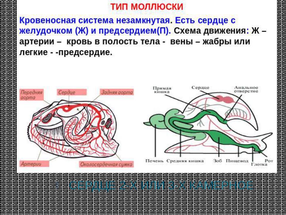 СЕРДЦЕ 2-Х ИЛИ 3-Х КАМЕРНОЕ