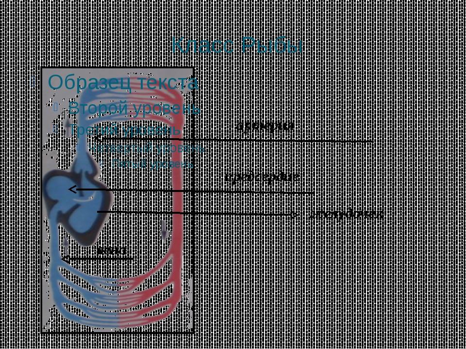 Класс Рыбы желудочек вена предсердие артерия