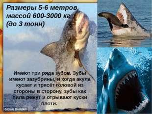 Размеры 5-6 метров, массой 600-3000кг (до 3 тонн) Имеют три ряда зубов. Зубы