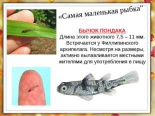 """«Самая маленькая рыбка"""" БЫЧОК ПОНДАКА Длина этого животного 7,5 – 11 мм. Встр"""