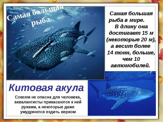 Самая большая рыба в мире. В длину она достигает 15 м (некоторые 20 м), а вес...