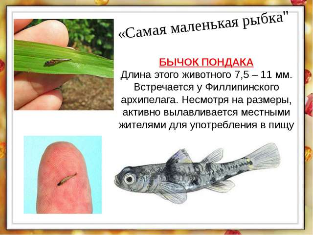 """«Самая маленькая рыбка"""" БЫЧОК ПОНДАКА Длина этого животного 7,5 – 11 мм. Встр..."""