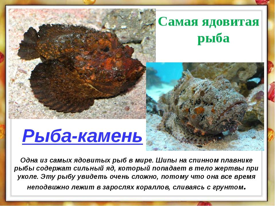 Одна из самых ядовитых рыб в мире. Шипы на спинном плавнике рыбы содержат сил...