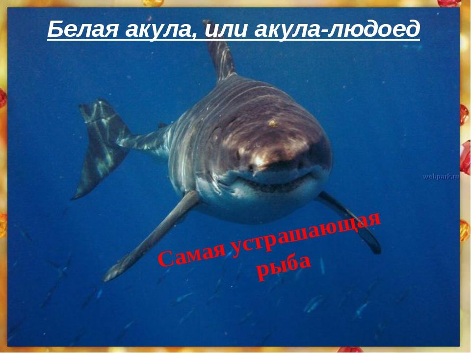 Самая устрашающая рыба Белая акула, илиакула-людоед