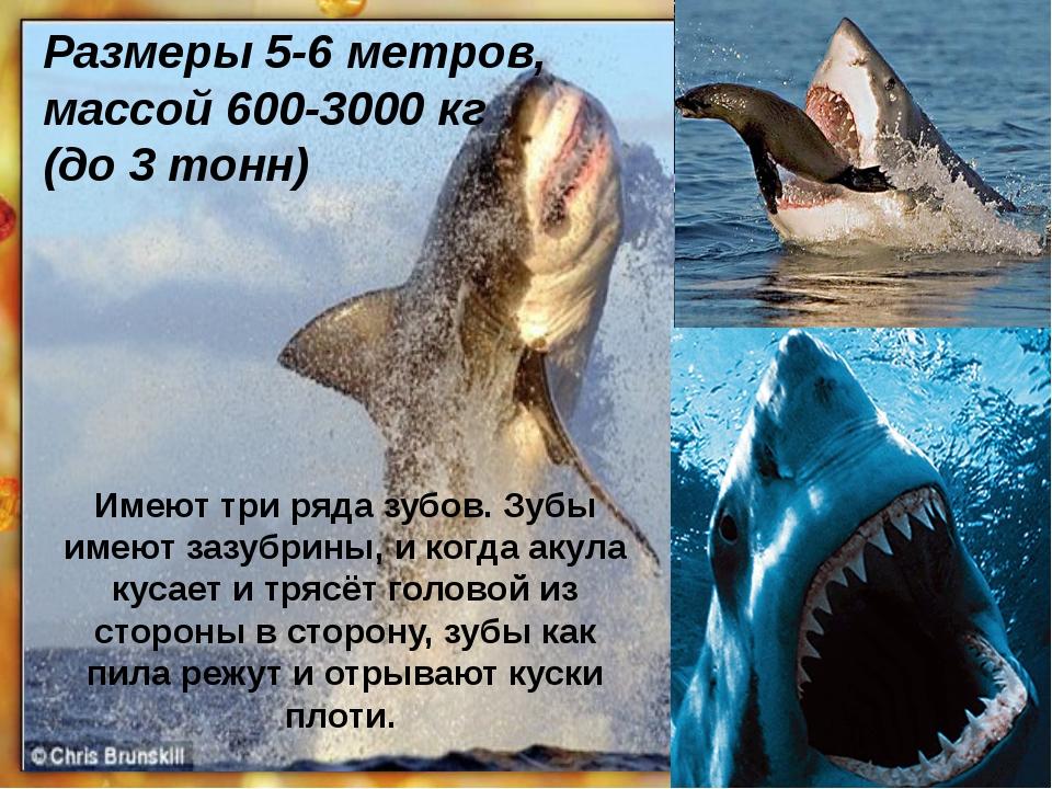 Размеры 5-6 метров, массой 600-3000кг (до 3 тонн) Имеют три ряда зубов. Зубы...
