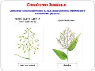 Семейство насчитывает около 10 тыс. видов растений. Представлено жизненными ф