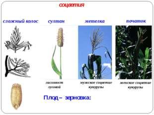 Плод – зерновка: сложный колос метелка султан початок лисохвост луговой мужс