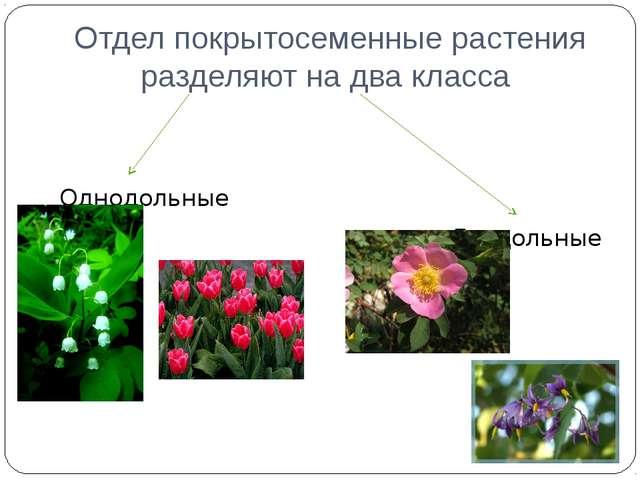 Отдел покрытосеменные растения разделяют на два класса Однодольные Двудольные