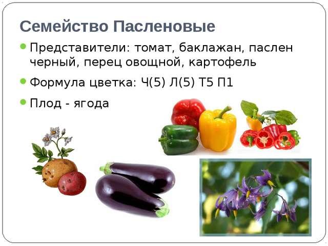 Семейство Пасленовые Представители: томат, баклажан, паслен черный, перец ово...