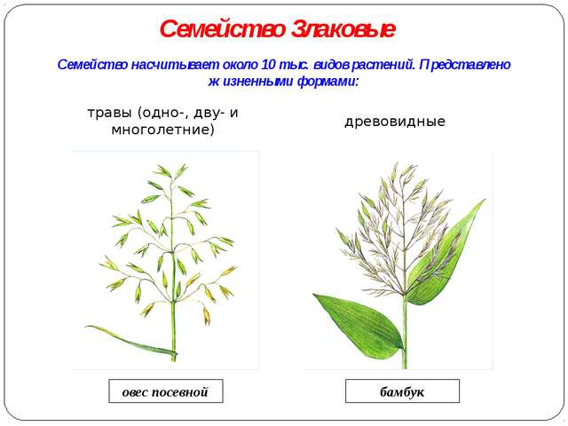 Семейство насчитывает около 10 тыс. видов растений. Представлено жизненными ф...