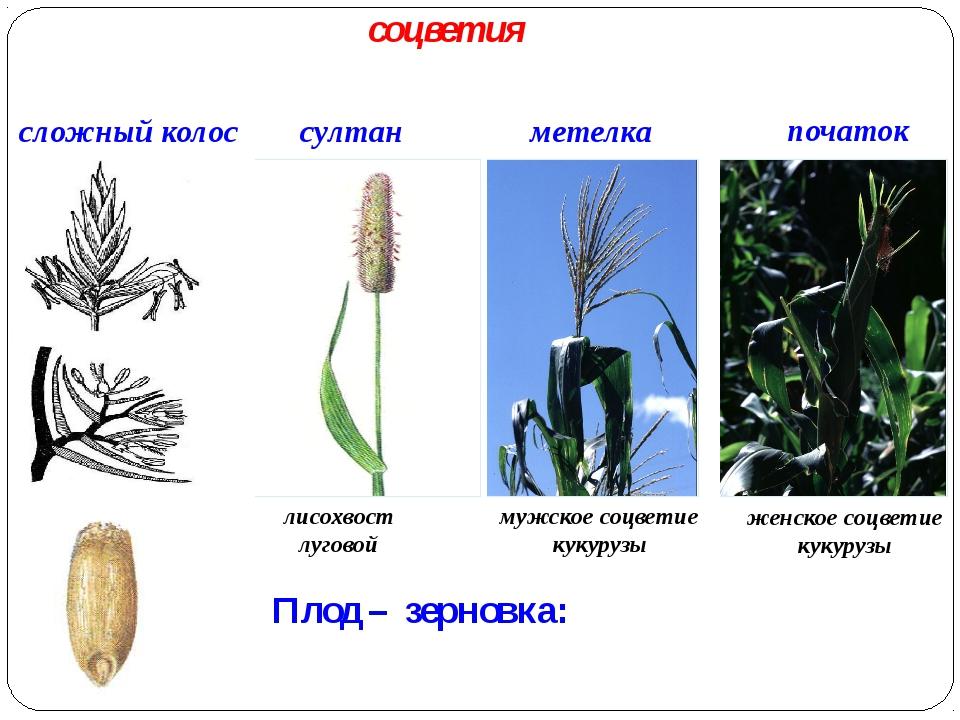 Плод – зерновка: сложный колос метелка султан початок лисохвост луговой мужс...