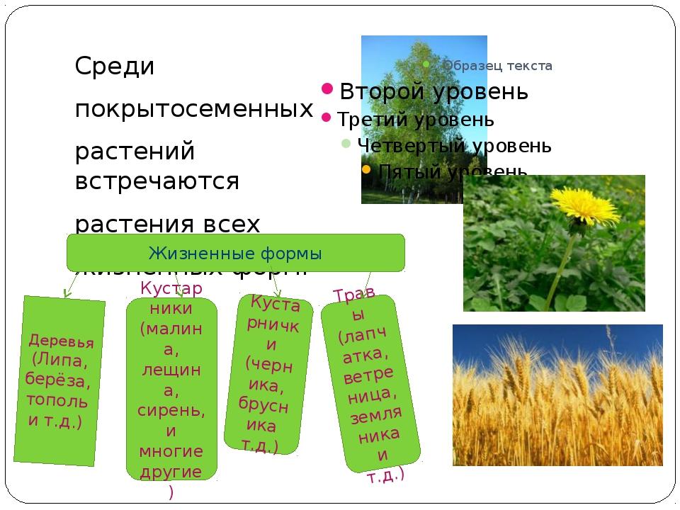 Среди покрытосеменных растений встречаются растения всех жизненных форм. Жиз...