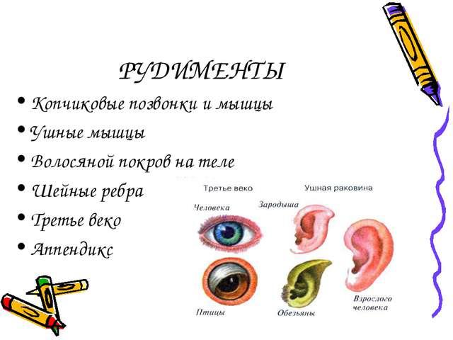 РУДИМЕНТЫ Копчиковые позвонки и мышцы Ушные мышцы Волосяной покров на теле Ше...