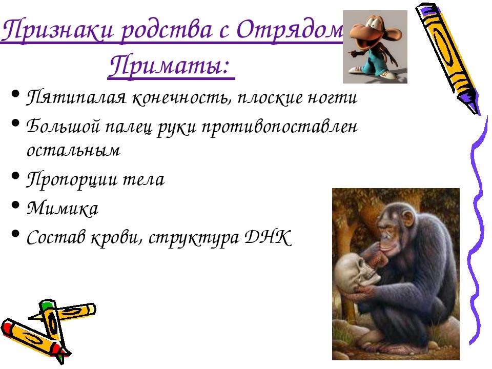 Признаки родства с Отрядом Приматы: Пятипалая конечность, плоские ногти Больш...