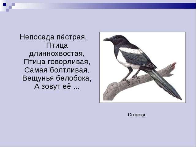 Непоседа пёстрая, Птица длиннохвостая, Птица говорливая, Самая болтливая. Вещ...