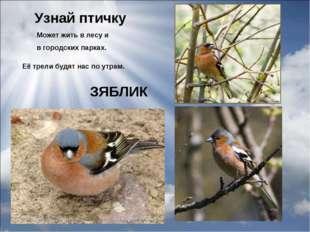 Узнай птичку Её трели будят нас по утрам. Может жить в лесу и в городских пар