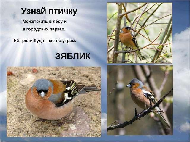 Узнай птичку Её трели будят нас по утрам. Может жить в лесу и в городских пар...