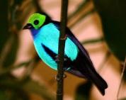 http://www.naturelifepark.com/birds/foto/big/Tangara_chilensis.jpg