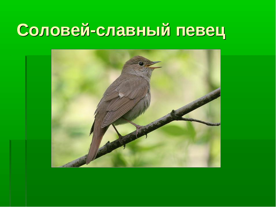 Соловей-славный певец