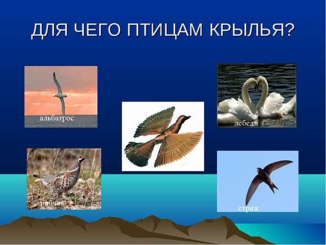ДЛЯ ЧЕГО ПТИЦАМ КРЫЛЬЯ? альбатрос стриж лебеди рябчик