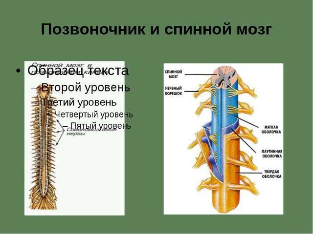 Позвоночник и спинной мозг