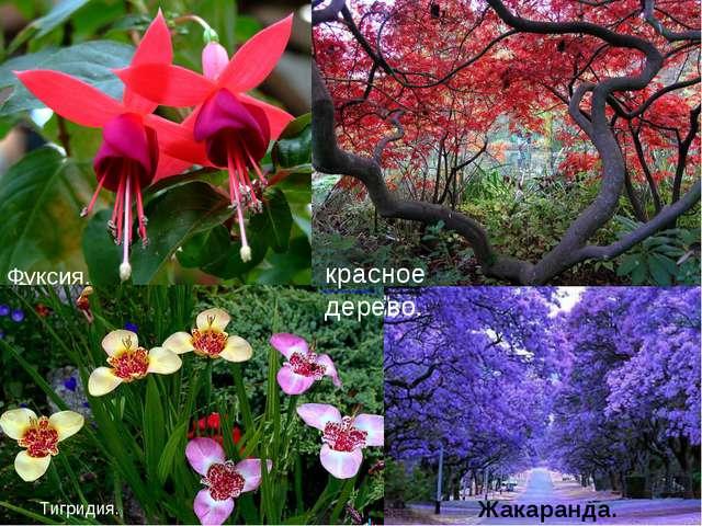 Фуксия. Тигридия. Жакаранда. красное дерево.