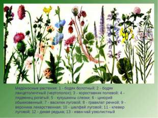 Медоносные растения: 1 - бодяк болотный; 2 - бодяк ланцетоличтный (чертополох