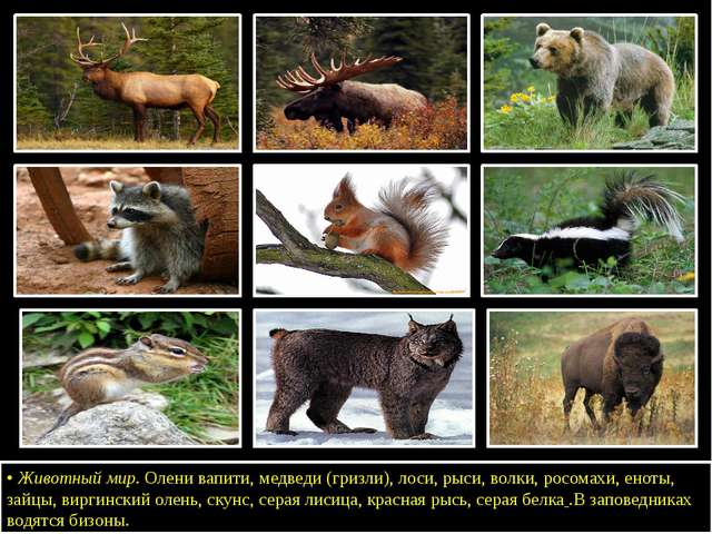 •Животный мир. Олени вапити, медведи (гризли), лоси, рыси, волки, росомахи,...