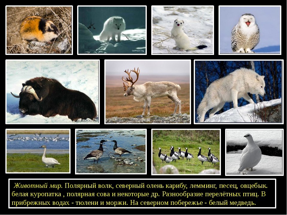 Животный мир. Полярный волк, северный олень карибу, лемминг, песец, овцебык...