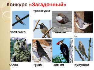 Конкурс «Загадочный» ласточка трясогузка оляпка поползень сова грач дятел кук