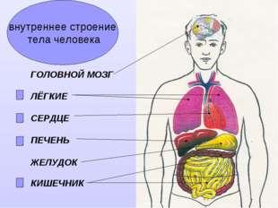 внутреннее строение тела человека ГОЛОВНОЙ МОЗГ ЛЁГКИЕ СЕРДЦЕ ПЕЧЕНЬ ЖЕЛУДОК