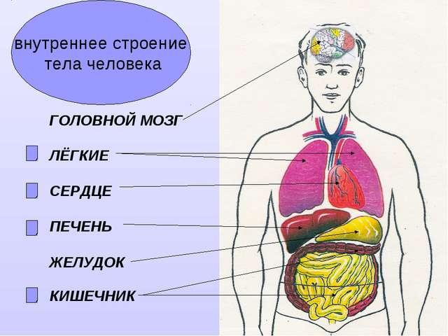 внутреннее строение тела человека ГОЛОВНОЙ МОЗГ ЛЁГКИЕ СЕРДЦЕ ПЕЧЕНЬ ЖЕЛУДОК...