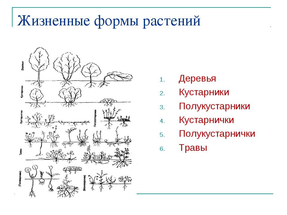 Жизненные формы растений Деревья Кустарники Полукустарники Кустарнички Полуку...