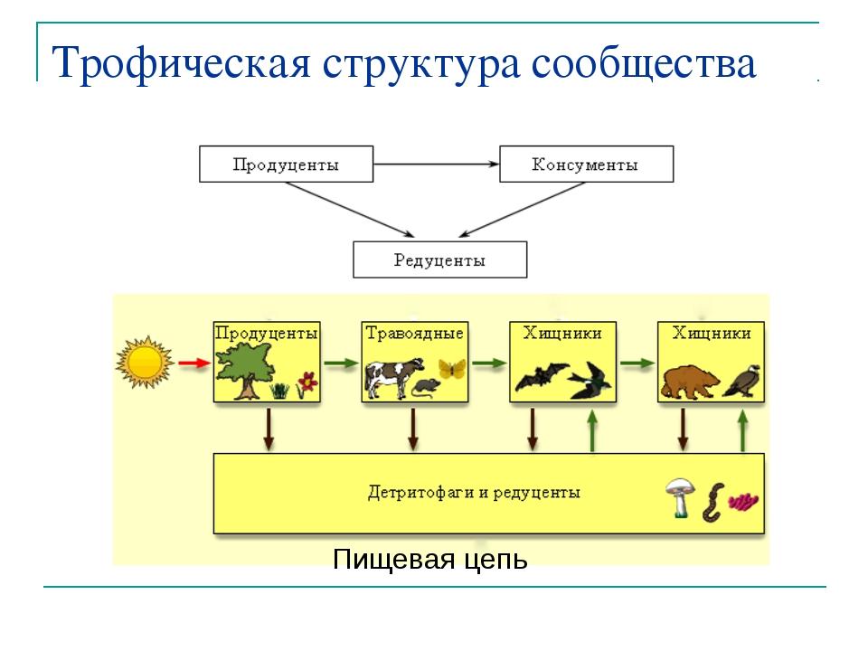 Трофическая структура сообщества Пищевая цепь