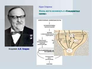 Академик А.И. Опарин Идеи Опарина: Жизнь могла возникнуть в «Коацерватных кап
