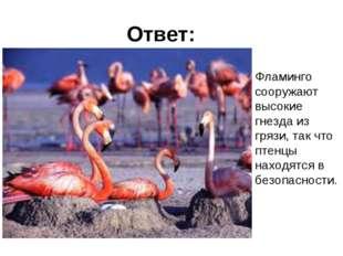 Ответ: Фламинго сооружают высокие гнезда из грязи, так что птенцы находятся в