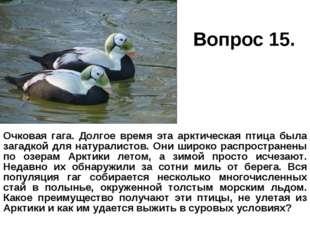 Вопрос 15. Очковая гага. Долгое время эта арктическая птица была загадкой для