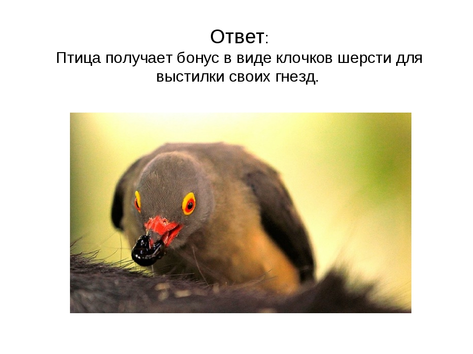 Ответ: Птица получает бонус в виде клочков шерсти для выстилки своих гнезд.