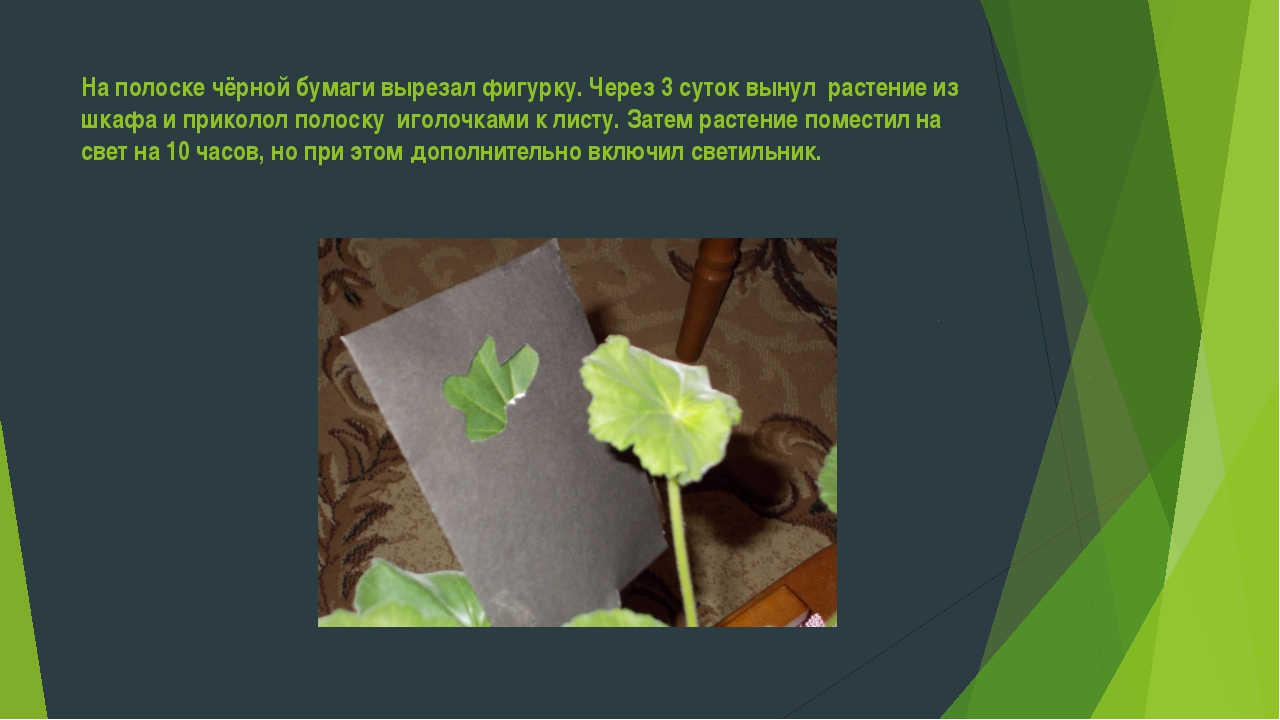 На полоске чёрной бумаги вырезал фигурку. Через 3 суток вынул растение из шка...