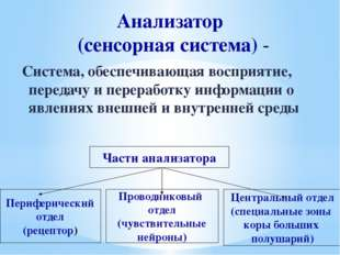 Анализатор (сенсорная система) - Система, обеспечивающая восприятие, передачу