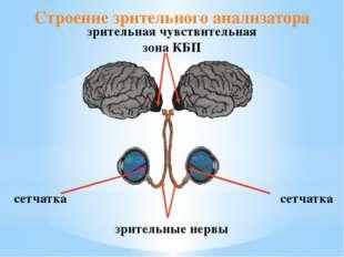 Строение зрительного анализатора сетчатка сетчатка зрительные нервы зрительна
