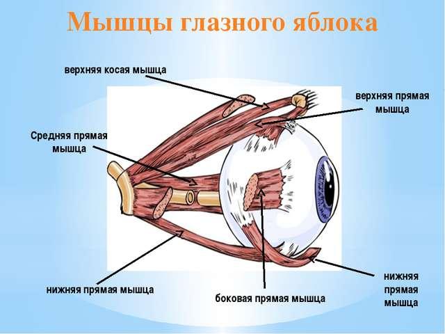 Мышцы глазного яблока верхняя прямая мышца нижняя прямая мышца боковая прямая...