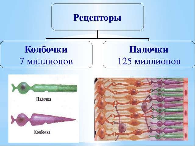 Рецепторы Колбочки 7 миллионов Палочки 125 миллионов