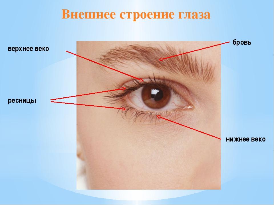 Внешнее строение глаза бровь ресницы верхнее веко нижнее веко