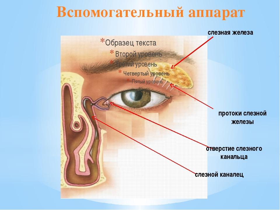 слезная железа протоки слезной железы отверстие слезного канальца слезной кан...