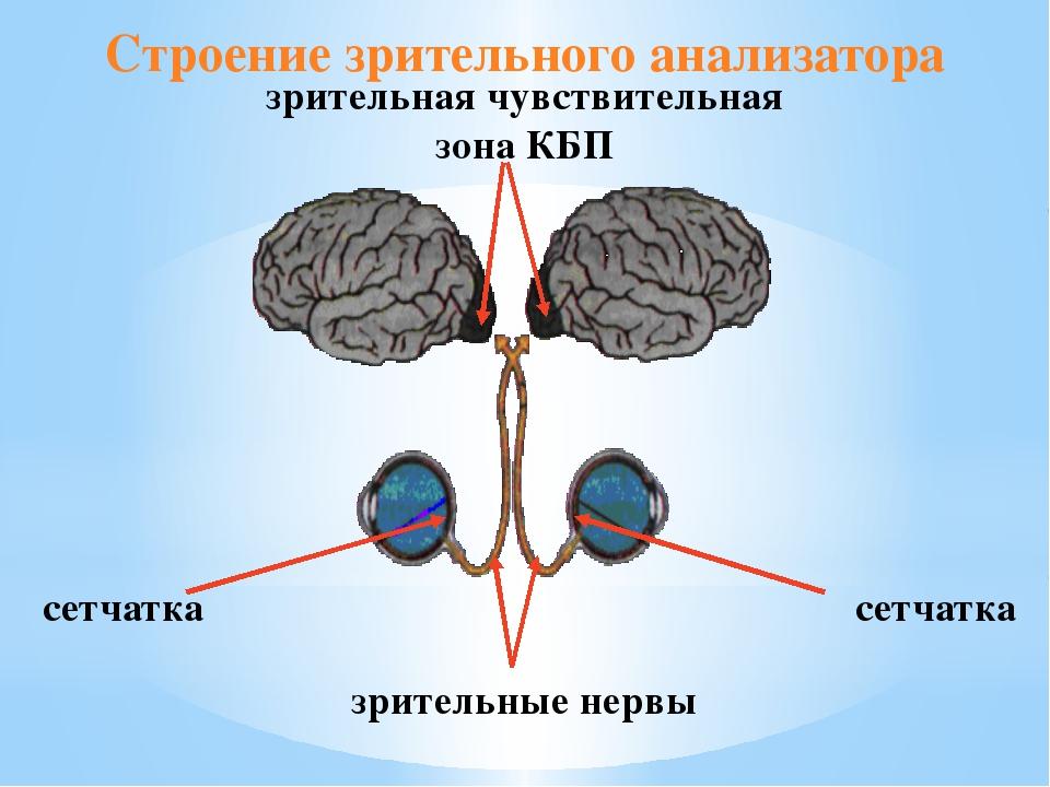 Строение зрительного анализатора сетчатка сетчатка зрительные нервы зрительна...