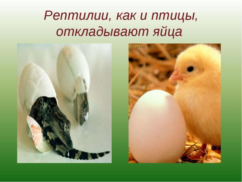 Рептилии, как и птицы, откладывают яйца
