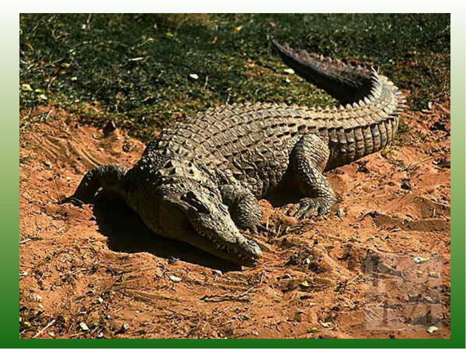 Вот лентяй С зеленой кожей, Он всегда гуляет лежа.