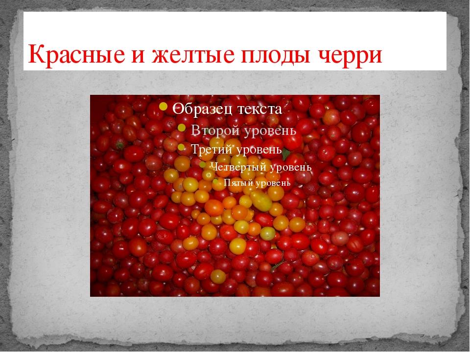 Красные и желтые плоды черри